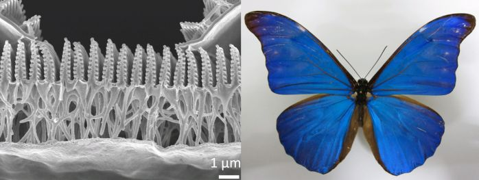 Image of a cross-section through a butterfly wing (Morpho)